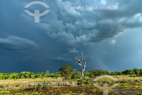 Ninho de Tuiuiú (Jabiru mycteria) em vegetação típica do Pantanal Matogrossense  - Poconé - Mato Grosso (MT) - Brasil