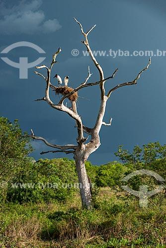 Detalhe de ninho de Tuiuiú (Jabiru mycteria) no Pantanal Matogrossense  - Poconé - Mato Grosso (MT) - Brasil