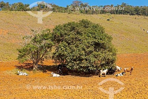Criação de gado descansando em sombra de árvore na zona rural da cidade de Guarani  - Belo Horizonte - Minas Gerais (MG) - Brasil
