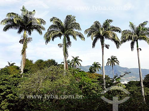 Palmeiras imperiais no Parque da Quinta da Boa Vista  - Rio de Janeiro - Rio de Janeiro (RJ) - Brasil