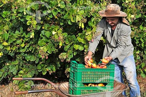 Trabalhador rural colhendo caju  - São Francisco - São Paulo (SP) - Brasil