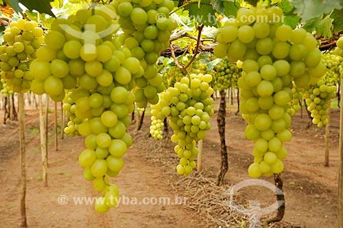 Detalhe de parreiral de uva Itália em formato de plantio chamado latada, também conhecido como pérgola  - São Francisco - São Paulo (SP) - Brasil