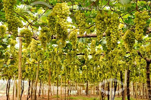 Parreiral de uva Itália em formato de plantio chamado latada, também conhecido como pérgola  - São Francisco - São Paulo (SP) - Brasil