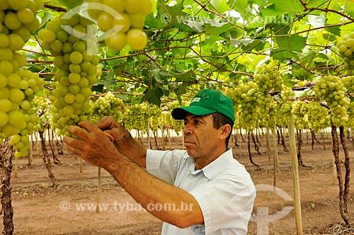 Detalhe de trabalhador rural colhendo uva Itália em formato de plantio chamado latada, também conhecido como pérgola  - São Francisco - São Paulo (SP) - Brasil