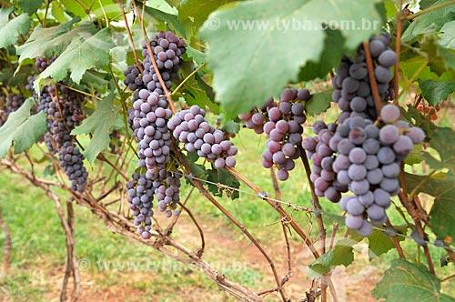 Detalhe de parreiral de uva Niagara  - São Francisco - São Paulo (SP) - Brasil