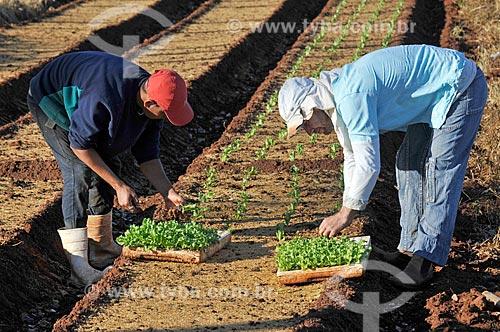Trabalhador rural na plantação de alface  - São Francisco - São Paulo (SP) - Brasil