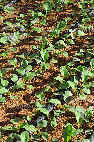 Detalhe de plantação de rabanete (Raphanus sativus) irrigada  - Neves Paulista - São Paulo (SP) - Brasil