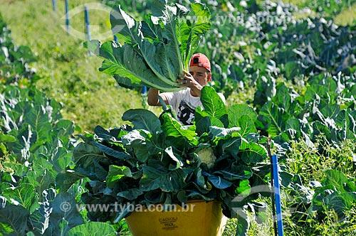 Detalhe de trabalhador rural colhendo couve-flor  - Neves Paulista - São Paulo (SP) - Brasil
