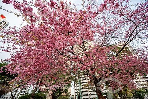 Detalhe de cerejeira na Praça do Japão  - Curitiba - Paraná (PR) - Brasil
