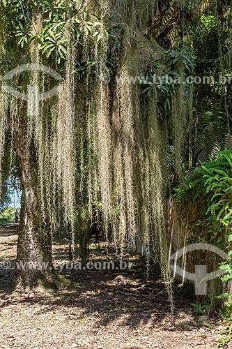 Árvore coberta por barba de pau (Tillandsia usneoides) - também conhecida como Barba de Velho  - Angra dos Reis - Rio de Janeiro (RJ) - Brasil