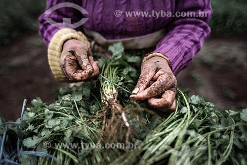 Mulher amarrando maço de coentro (Coriandrum sativum) na zona rural do distrito de Campo do Coelho  - Nova Friburgo - Rio de Janeiro (RJ) - Brasil