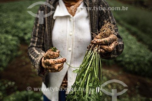 Mulher segurando maço de coentro (Coriandrum sativum) na zona rural do distrito de Campo do Coelho  - Nova Friburgo - Rio de Janeiro (RJ) - Brasil