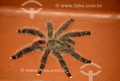 Detalhe de aranha-caranguejeira  - Amazonas (AM) - Brasil