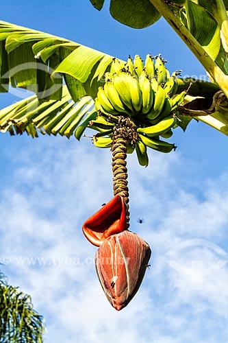 Cacho de bananas em uma bananeira na Praia da Lagoinha  - Florianópolis - Santa Catarina (SC) - Brasil