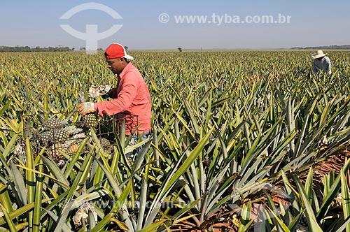 Trabalhadores rurais colhendo abacaxi pérola  - Frutal - Minas Gerais (MG) - Brasil