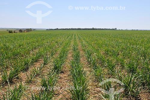Plantação de cana-de-açúcar  - Frutal - Minas Gerais (MG) - Brasil