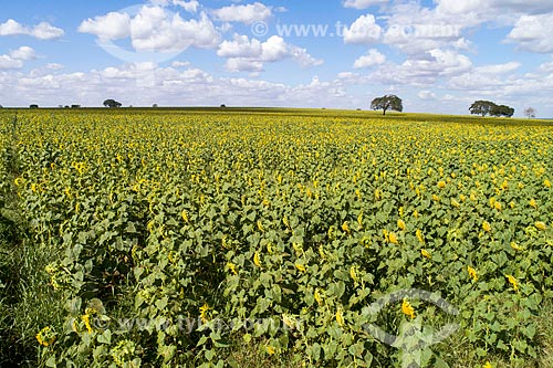 Plantação de girassol (Helianthus annuus)  - Monte Alegre de Minas - Minas Gerais (MG) - Brasil