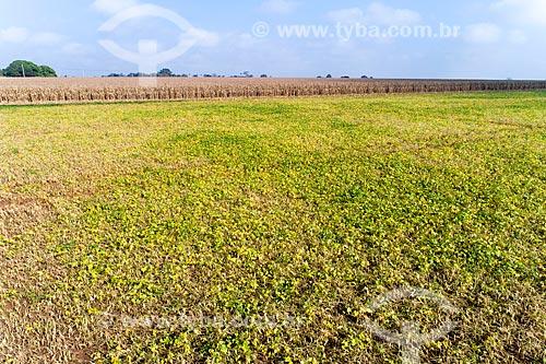 Plantação de feijão com milharal no fundo  - Guaíra - São Paulo (SP) - Brasil
