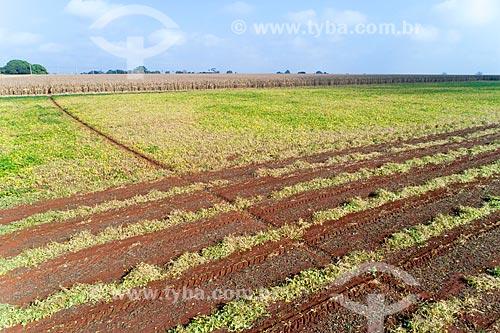 Foto feita com drone de plantação de feijão com milharal no fundo  - Guaíra - São Paulo (SP) - Brasil