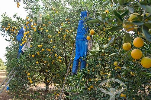 Trabalhadores rurais colhendo laranja  - Bebedouro - São Paulo (SP) - Brasil