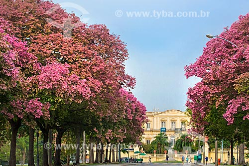 Árvores floridas no Parque da Quinta da Boa Vista com o Museu Nacional - antigo Paço de São Cristóvão - ao fundo  - Rio de Janeiro - Rio de Janeiro (RJ) - Brasil