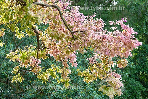 Detalhe de sapucaia (Lecythis pisonis) florida no Parque da Quinta da Boa Vista  - Rio de Janeiro - Rio de Janeiro (RJ) - Brasil