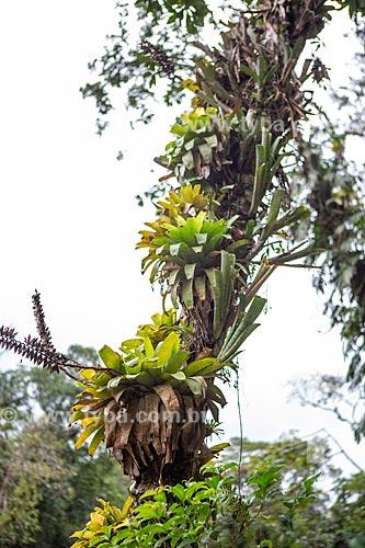 Detalhe de bromélias em galho no Parque Nacional da Tijuca  - Rio de Janeiro - Rio de Janeiro (RJ) - Brasil