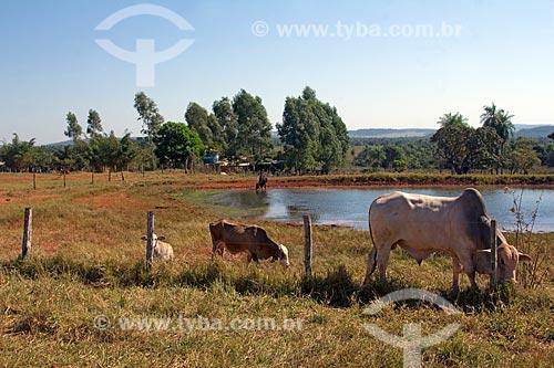 Gado em curral de fazenda  - Jardim - Mato Grosso do Sul (MS) - Brasil