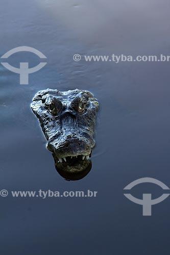 Jacaré-do-pantanal (caiman crocodilus yacare) - também conhecido como Jacaré-do-paraguai - no corixo São Domingos - afluente do Rio Miranda  - Miranda - Mato Grosso do Sul (MS) - Brasil