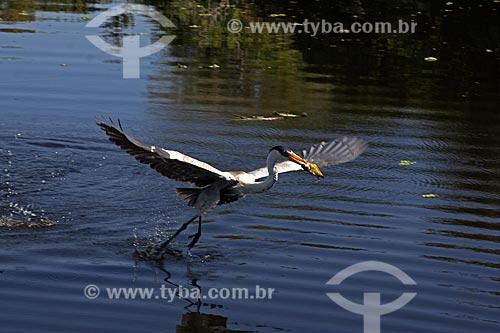 Garça-moura (Ardea cocoi) pescando no corixo São Domingos - afluente do Rio Miranda  - Miranda - Mato Grosso do Sul (MS) - Brasil