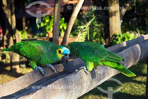 Papagaios (Amazona aestiva) na Fazenda San Domingos  - Miranda - Mato Grosso do Sul (MS) - Brasil
