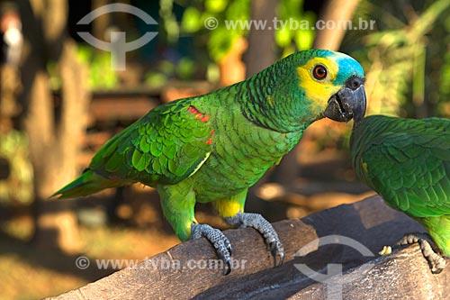 Detalhe de papagaio (Amazona aestiva) na Fazenda San Domingos  - Miranda - Mato Grosso do Sul (MS) - Brasil