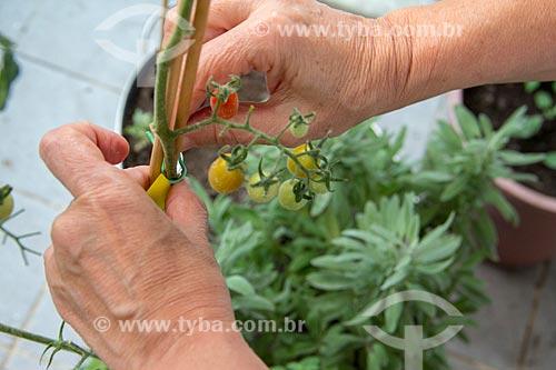 Detalhe de pé de tomate-cereja em horta doméstica  - Rio de Janeiro - Rio de Janeiro (RJ) - Brasil
