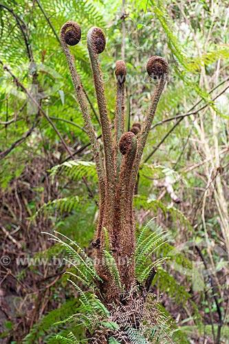 Detalhe de samambaiaçu (Dicksonia selowiana) no Parque Nacional da Serra dos Órgãos  - Petrópolis - Rio de Janeiro (RJ) - Brasil