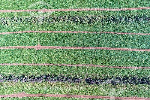 Foto feita com drone de plantação de abóboras  - Taquaritinga - São Paulo (SP) - Brasil