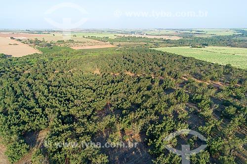Foto feita com drone de pomar de abacate  - Taquaritinga - São Paulo (SP) - Brasil