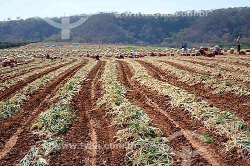 Vista de plantação de cebola (Allium cepa)  - Monte Alto - São Paulo (SP) - Brasil