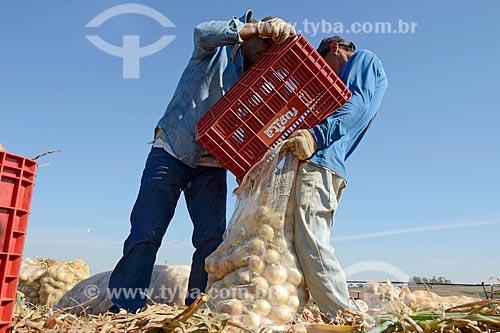 Trabalhadores rurais ensacando cebolas durante colheita  - Monte Alto - São Paulo (SP) - Brasil
