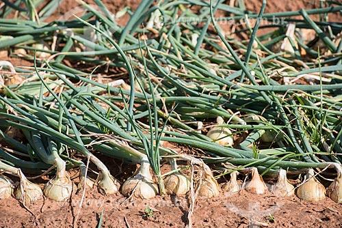Detalhe de plantação de cebola (Allium cepa)  - Monte Alto - São Paulo (SP) - Brasil