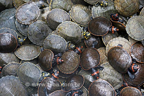 Filhotes de tartaruga-da-amazônia (Podocnemis expansa) no Rio Uatumã  - Amazonas (AM) - Brasil