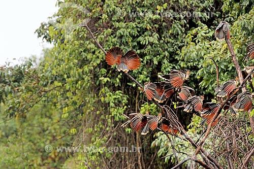 Bando de Jacu-cigano (Opisthocomus hoazin) na amazônia  - Amazonas (AM) - Brasil