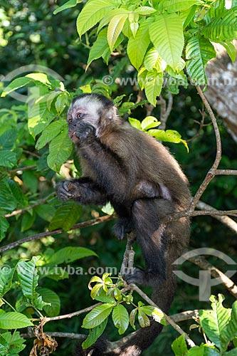 Detalhe de macaco-prego (Sapajus nigritus) no Parque Nacional da Tijuca  - Rio de Janeiro - Rio de Janeiro (RJ) - Brasil