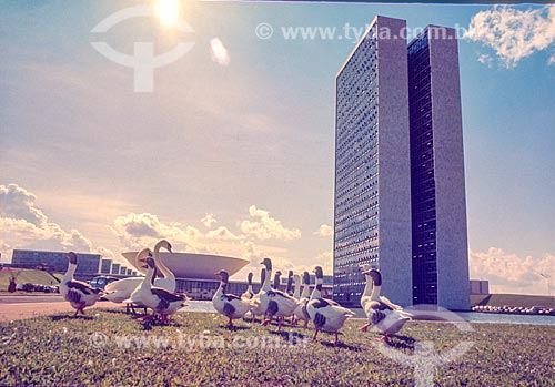 Gansos em frente ao Congresso Nacional durante a construção de Brasília  - Brasília - Distrito Federal (DF) - Brasil