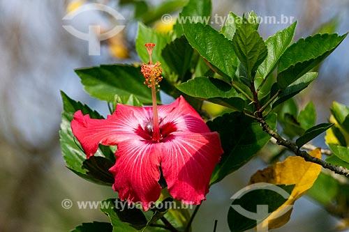 Detalhe de mimo-de-vênus (Hibiscus rosa-sinensis) na Área de Proteção Ambiental da Serrinha do Alambari  - Resende - Rio de Janeiro (RJ) - Brasil