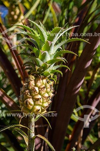 Detalhe de abacaxi (Ananas comosus) na Área de Proteção Ambiental da Serrinha do Alambari  - Resende - Rio de Janeiro (RJ) - Brasil