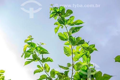Detalhe de folha amora na zona rural da cidade de Guarani  - Guarani - Minas Gerais (MG) - Brasil