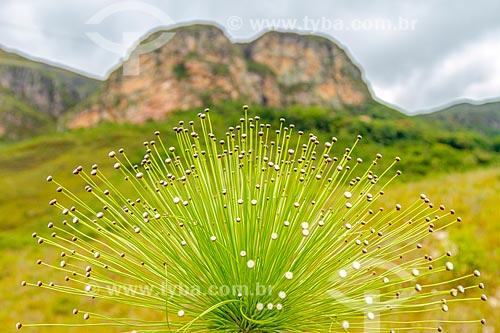 Sempre Viva (Paepalanthus Sp.) - também conhecido como Chuveirinho - na Serra do Cipó com a Pedra do Elefante ao fundo  - Santana do Riacho - Minas Gerais (MG) - Brasil