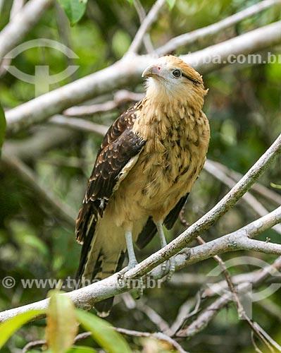 Detalhe de gavião-carrapateiro (Milvago chimachima) na Floresta Amazônica  - Amazonas (AM) - Brasil