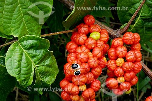 Detalhe de guaraná (Paullinia cupana)  - Novo Airão - Amazonas (AM) - Brasil