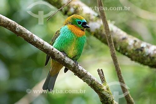 Detalhe de saíra-lagarta (Tangara desmaresti)  - Morretes - Paraná (PR) - Brasil
